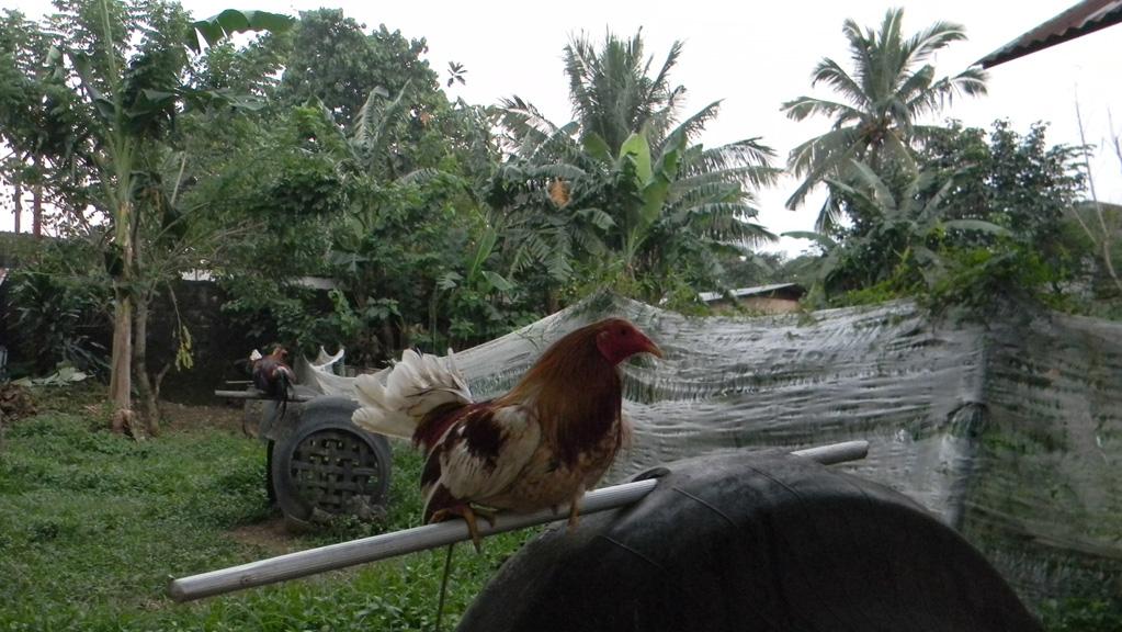 Manila-cockfight1