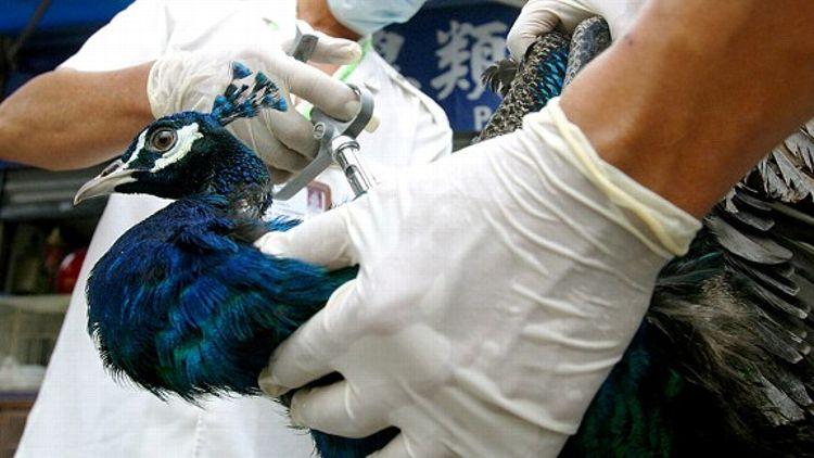 Sick Peacock