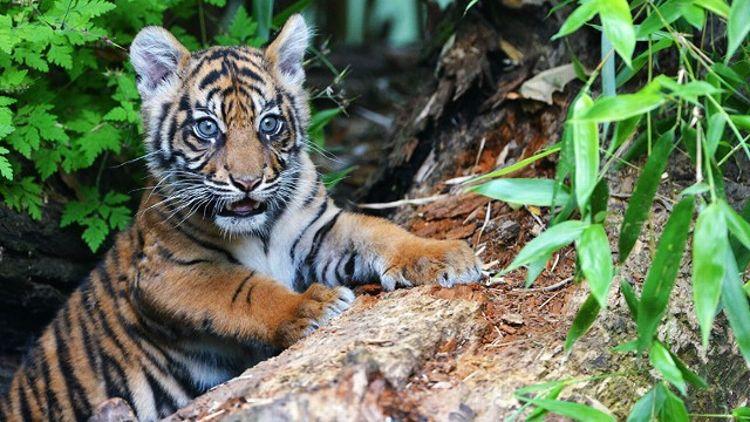 "Baby Tiger ""Berani"""