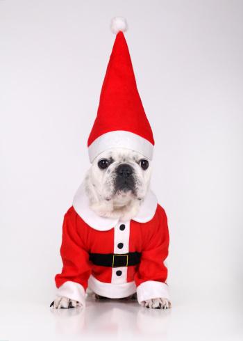 bulldog-santa
